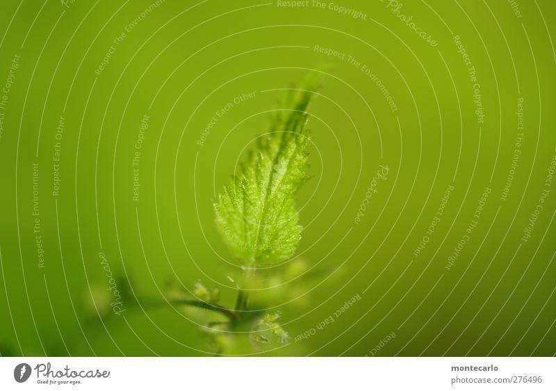 Urtica Umwelt Natur Pflanze Sommer Sträucher Blatt Grünpflanze Wildpflanze Brennnessel Wald authentisch einfach wild grün Farbfoto Gedeckte Farben Außenaufnahme