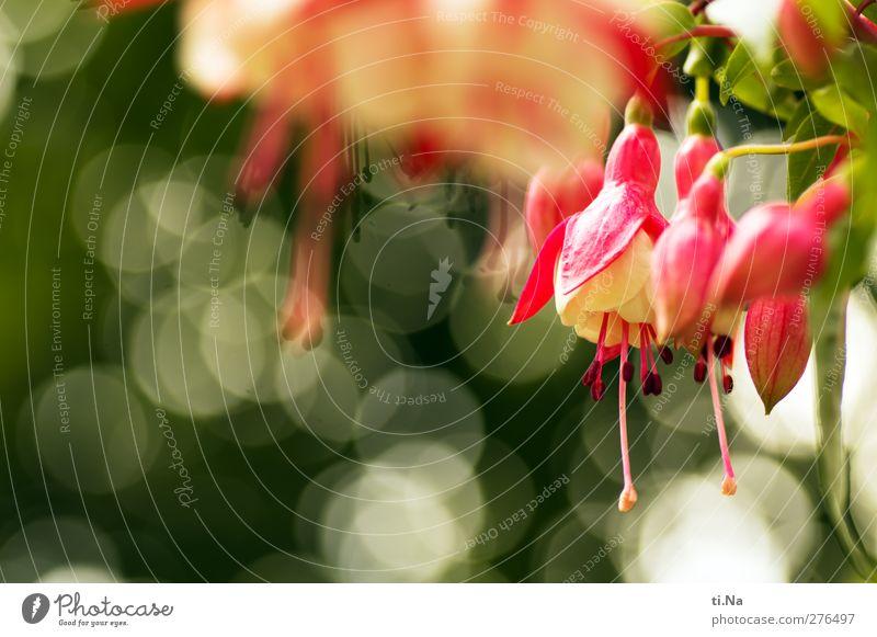 Blütenbokeh Pflanze Frühling Sommer Herbst Blume Blatt Fuchsie Fuchsienblüten Garten Blühend Duft hängen elegant schön klein grün rosa rot weiß Umwelt Farbfoto