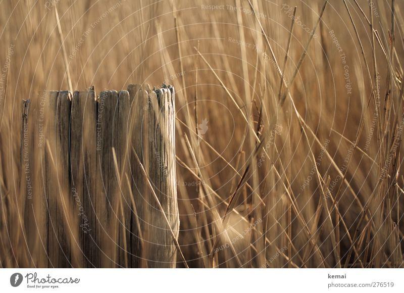 Hiddensee | Reet Natur Sommer Pflanze Umwelt Wärme Holz glänzend Wachstum Warmherzigkeit Pfosten Stroh Nutzpflanze Riedgras