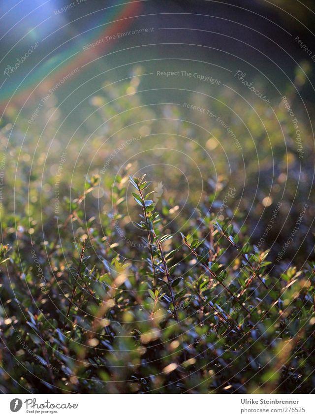 Buxus sempervirens Natur grün Sommer Pflanze Blatt ruhig Ferne Garten Park Zufriedenheit Kraft natürlich glänzend Wachstum leuchten Sträucher