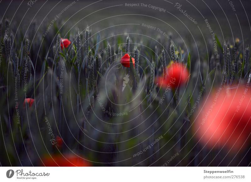 red dots Natur Pflanze grün Sommer Blume rot Landschaft Frühling Blüte wild Feld Wachstum ästhetisch genießen Blühend Lebensfreude
