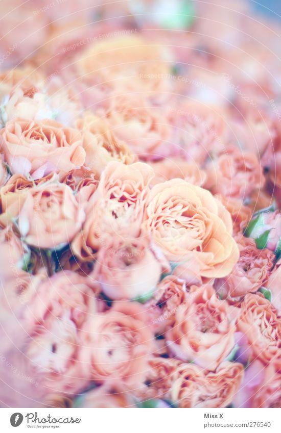 Roses Pflanze Blume rosa Duft Blühend Blumenstrauß Rosenblüte Farbfoto Nahaufnahme Muster Strukturen & Formen Menschenleer