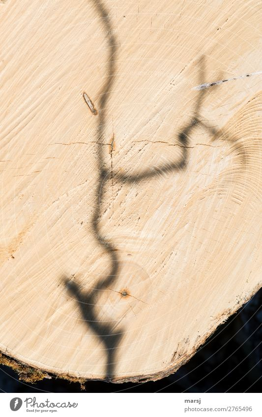 Nachwuchs Baum Ast Jahresringe Maserung Riss Holz alt authentisch kaputt natürlich braun Kraft Beginn Ende Nutzholz Geriegelter Ahorn gefallen Querschnitt