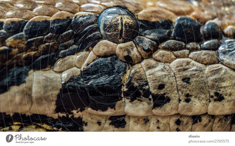 thunder lizard, stony eye Tier Wildtier Schlange Tiergesicht Schlangenauge Reptil Terrarium Auge 1 beobachten Blick bedrohlich exotisch natürlich Wachsamkeit