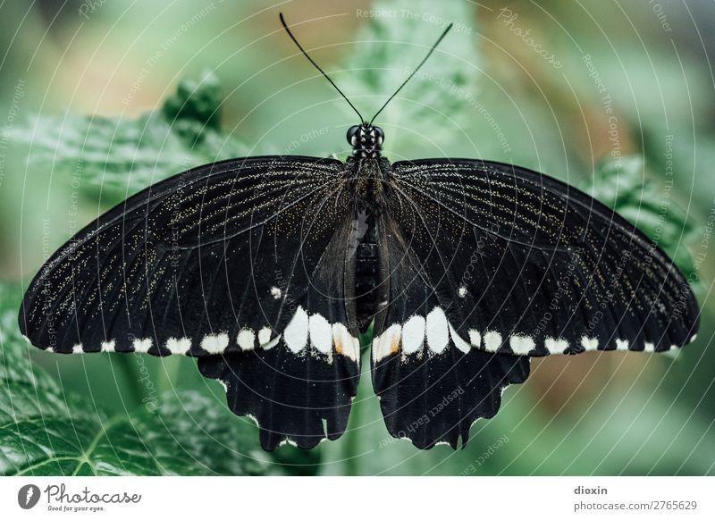 Scmetterling in schwarz/weiß Umwelt Natur Tier Urwald Schmetterling Insekt 1 exotisch klein leicht Leichtigkeit filigran Farbfoto Nahaufnahme Makroaufnahme