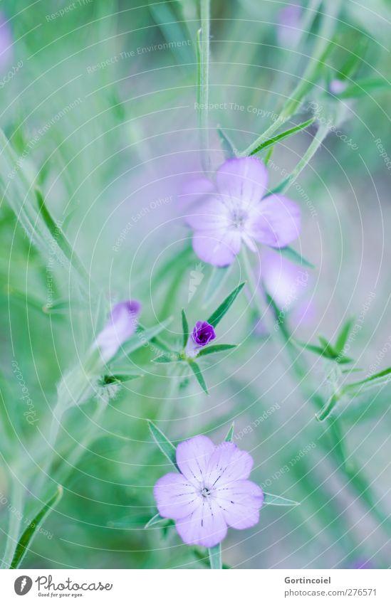 Grünlila Natur Pflanze Frühling Sommer Blume Blüte grün violett Blütenpflanze Blütenblatt Blumenwiese schön Farbfoto Außenaufnahme Nahaufnahme Detailaufnahme