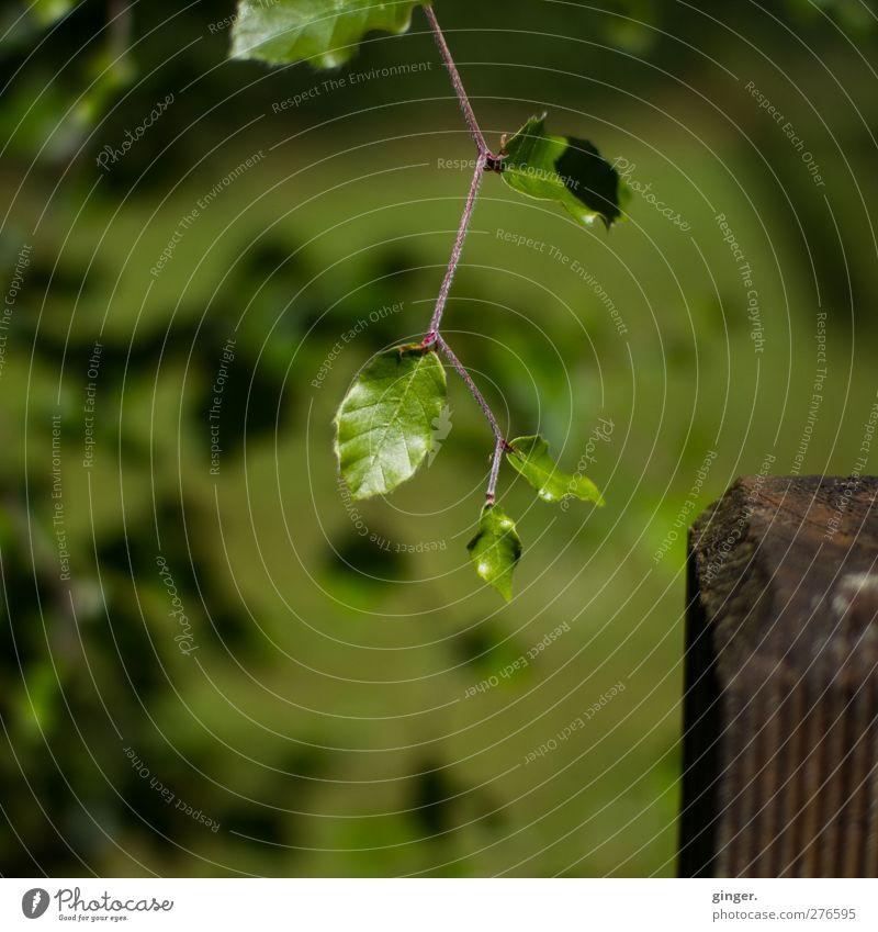 Hallo Vollpfosten, wie geht's? Umwelt Natur Pflanze Sträucher Blatt Grünpflanze Garten glänzend grün Zickzack Pfosten frisch entfalten Wachstum hängen Farbfoto