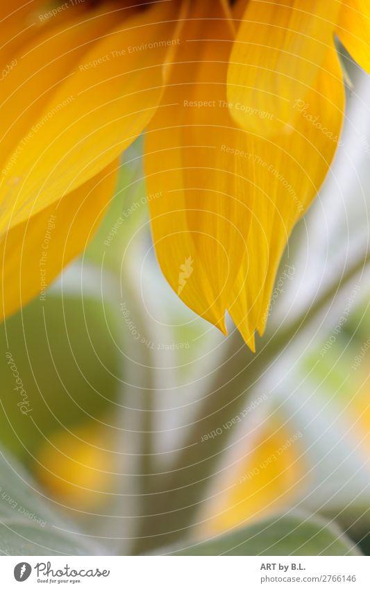 zarte Natur Pflanze Blume Blatt Blüte Nutzpflanze berühren entdecken zeichnen gelb grün Vorfreude Warmherzigkeit Farbfoto Außenaufnahme Nahaufnahme