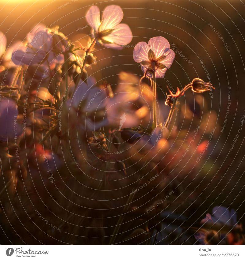 straßenrand-romantik III Natur Pflanze Sonnenaufgang Sonnenuntergang Blume Blüte Wildpflanze Wiese Feld braun gold grün violett Farbfoto Menschenleer Abend