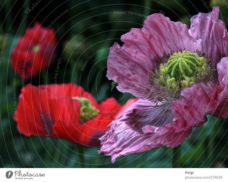 Schlafmohnblüten Umwelt Natur Pflanze Sommer Schönes Wetter Blume Blüte Mohn Mohnblüte Garten Blühend Wachstum ästhetisch außergewöhnlich schön natürlich grün