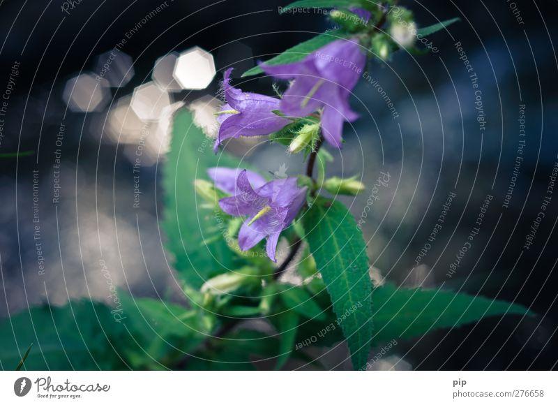 glockenblume Natur Pflanze Blume Glockenblume Blüte Blütenkelch Blatt schön grün violett ästhetisch Unschärfe Umweltschutz zart Farbfoto Außenaufnahme
