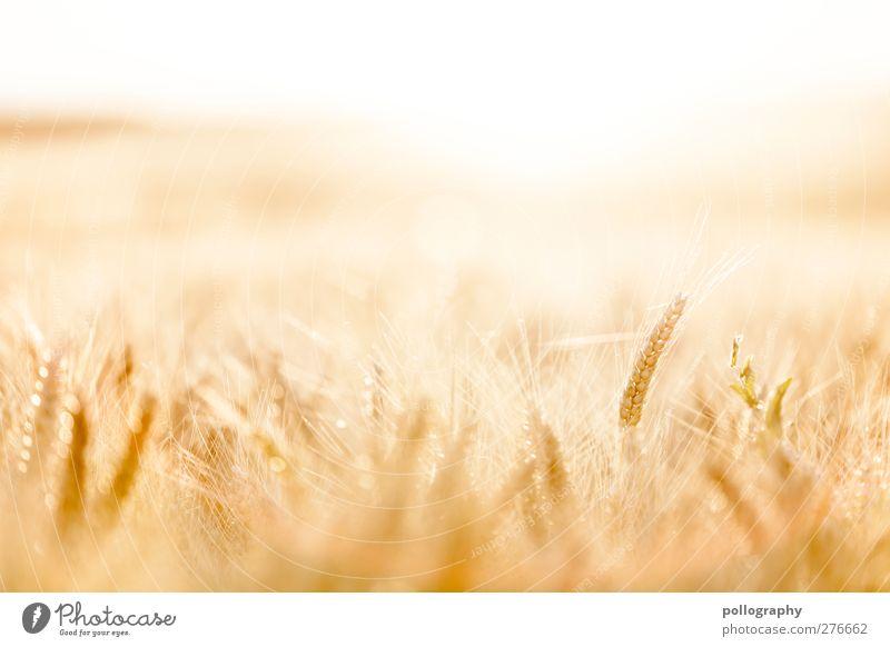 feel the nature (II) Lebensmittel Getreide Natur Landschaft Pflanze Himmel Wolkenloser Himmel Horizont Sommer Schönes Wetter Wärme Dürre Nutzpflanze Kornfeld