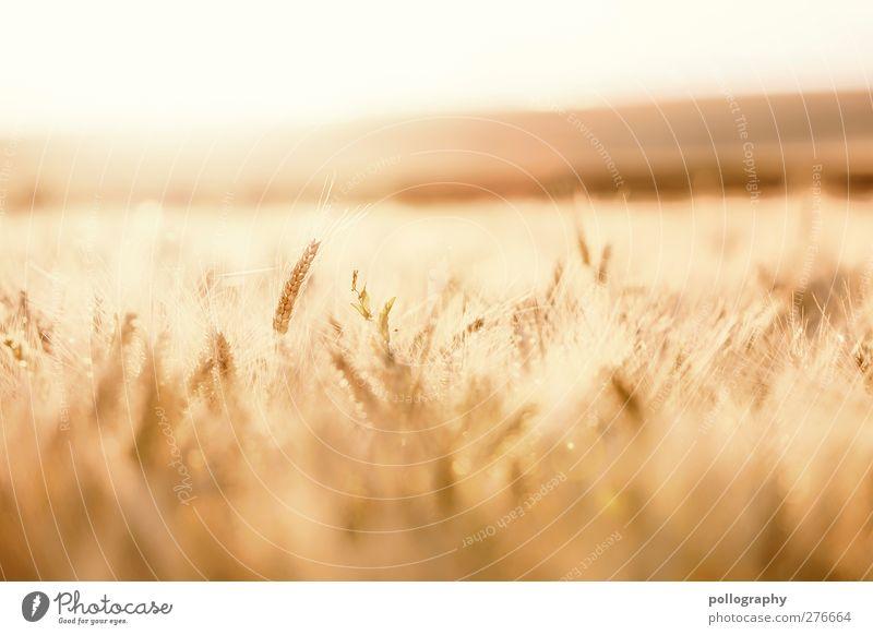 feel the nature (III) Himmel Natur grün Sommer Pflanze ruhig Landschaft gelb Wärme Lebensmittel Horizont Zufriedenheit Feld Ernährung gold Wachstum