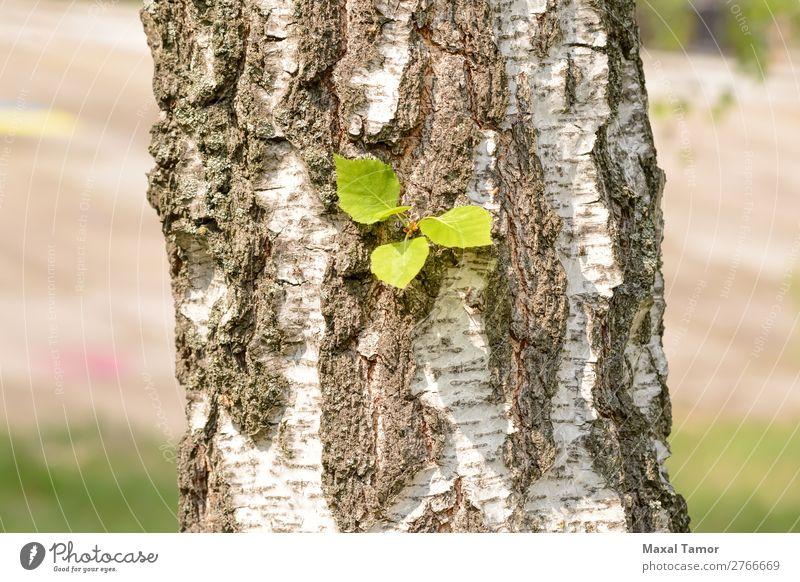 Blätter auf Birkenstamm Sommer Umwelt Natur Baum Blatt Park Wald grün weiß Ukraine Rinde Jahreszeiten Frühling sonnig Kofferraum Holz jung Sonnenlicht