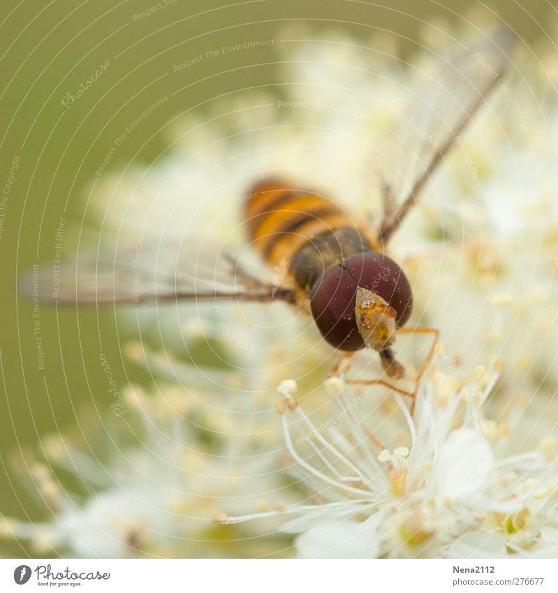 du pollen plein les yeux Natur Pflanze Tier Blume Wildpflanze Wiese Fliege 1 weiß Pollen Schweben schwebefliege Auge Facettenauge Biene Wespen Insekt Farbfoto