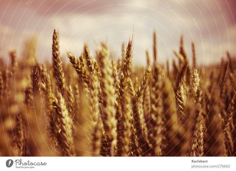 KØRN. Himmel Natur Sommer Pflanze Umwelt Leben Herbst Gesundheit Lebensmittel Feld Gesundheitswesen Schönes Wetter Ausflug Ernährung Landwirtschaft Getreide