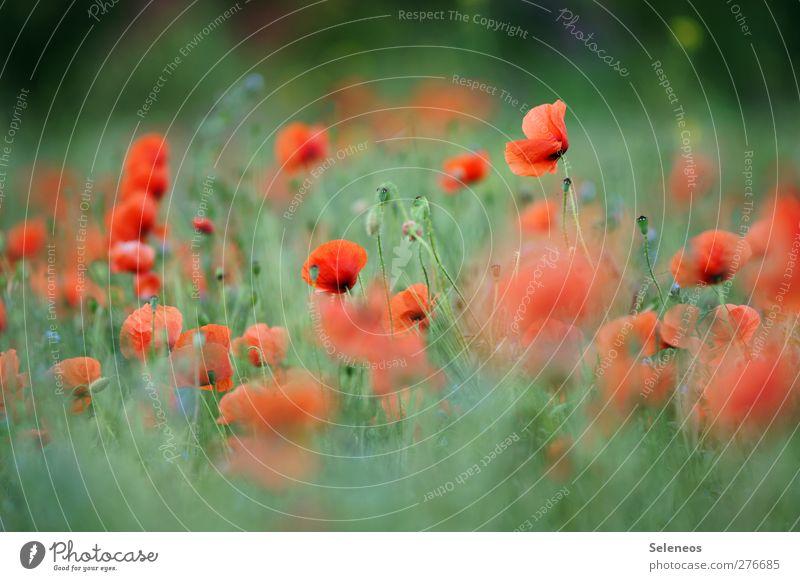 - Natur Sommer Pflanze Sonne Blume Landschaft Umwelt Wiese Gras Blüte Garten Feld Ausflug Schönes Wetter Blühend Mohn