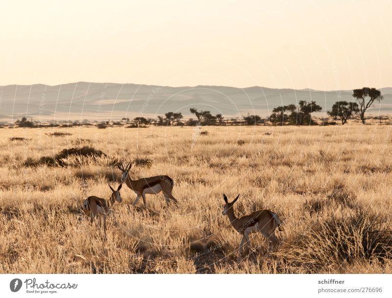 Die drei von der Tankstelle Natur Pflanze Tier Landschaft gelb Umwelt Wärme gold Wildtier Tiergruppe Schönes Wetter Afrika Wolkenloser Himmel Dürre Steppe