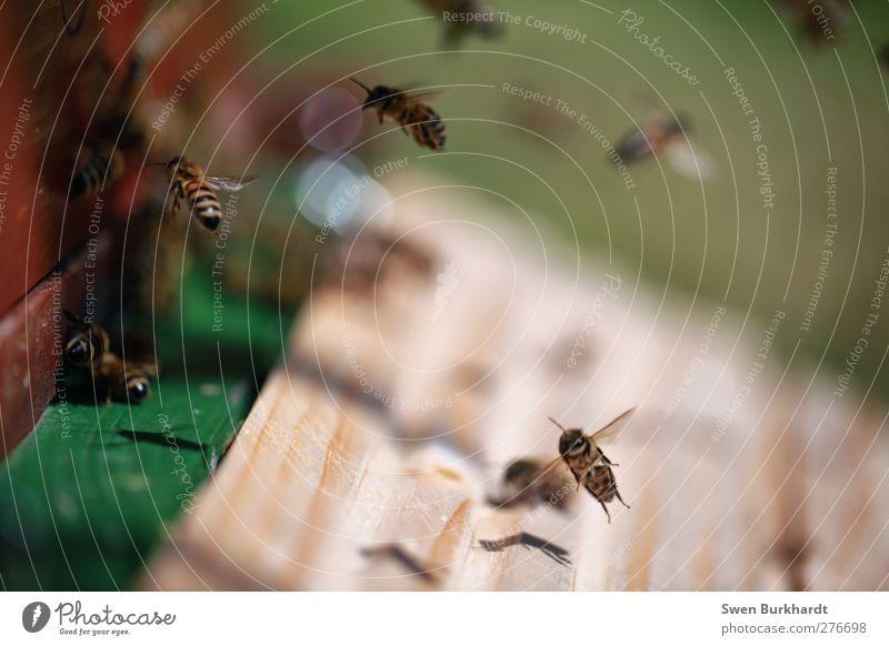 ich weiß wo der goldene Honig herkommt Natur grün Sommer Tier Umwelt Holz braun gefährlich bedrohlich genießen Biene Insekt Ernte chaotisch Sammlung