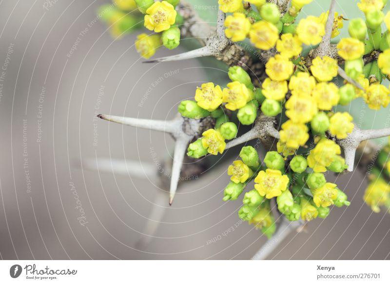Stachelig Pflanze Kaktus exotisch bedrohlich eckig stachelig gelb grün Schmerz bizarr Blühend Gegenteil Detailaufnahme Menschenleer Tag Unschärfe