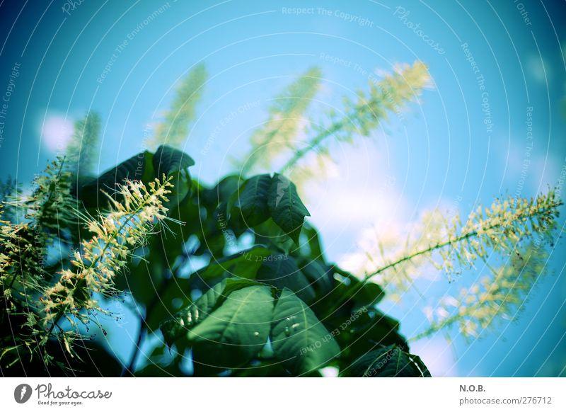 Ständig Blütenstände Himmel Natur blau grün Sommer Pflanze Blatt Umwelt Wiese Garten Park Wassertropfen Schönes Wetter retro Optimismus