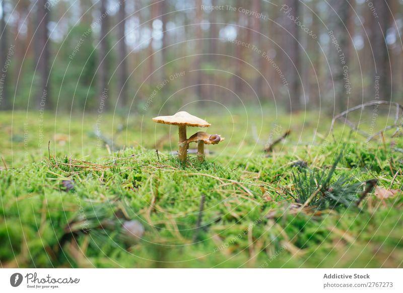 Vergifteter heller Pilz Fliegenpilz Rasen Herbst Blatt Gift Natur giftig Umwelt rot Jahreszeiten frisch Saison Wald Biologie mehrfarbig Gras Boden wild Wachstum