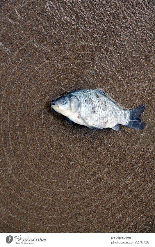 nichtschwimmer Lebensmittel Fisch Ernährung Angeln Sand Wasser Küste Strand Tier Totes Tier 1 braun türkis Tod Farbfoto Außenaufnahme Nahaufnahme Menschenleer