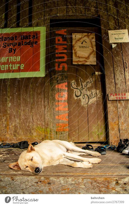 wachhund Ferien & Urlaub & Reisen Tourismus Ausflug Abenteuer Ferne Freiheit Haustier Hund Tiergesicht Fell Erholung schlafen schön Malaysia Borneo Iban