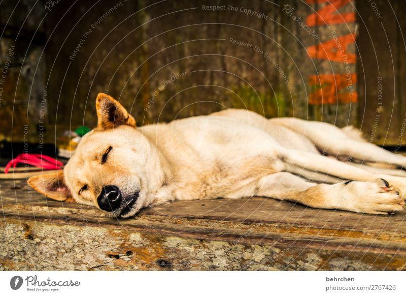 hundeleben Ferien & Urlaub & Reisen Tourismus Ausflug Abenteuer Ferne Freiheit Haustier Hund Tiergesicht Fell Pfote Nase Ohr 1 Erholung schlafen schön Müdigkeit
