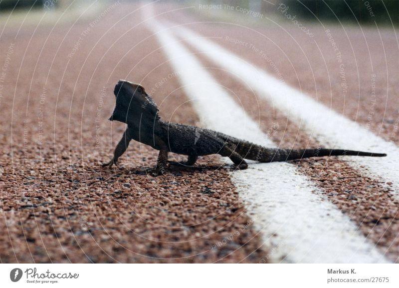 natural traffic Einsamkeit Straße Verkehr Reptil Echsen Outback