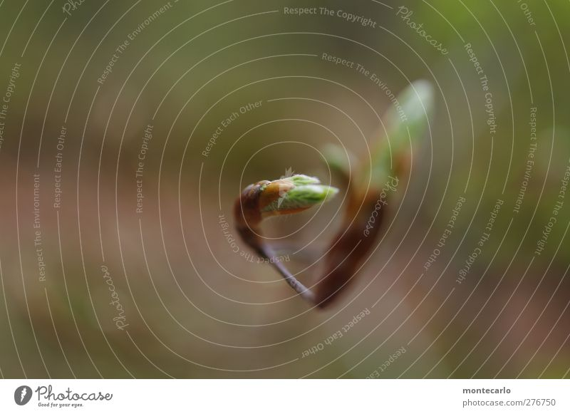 Jungfräulich Umwelt Natur Pflanze Frühling Schönes Wetter Baum Blatt Grünpflanze Wildpflanze Wald ästhetisch authentisch dünn einfach elegant frisch klein