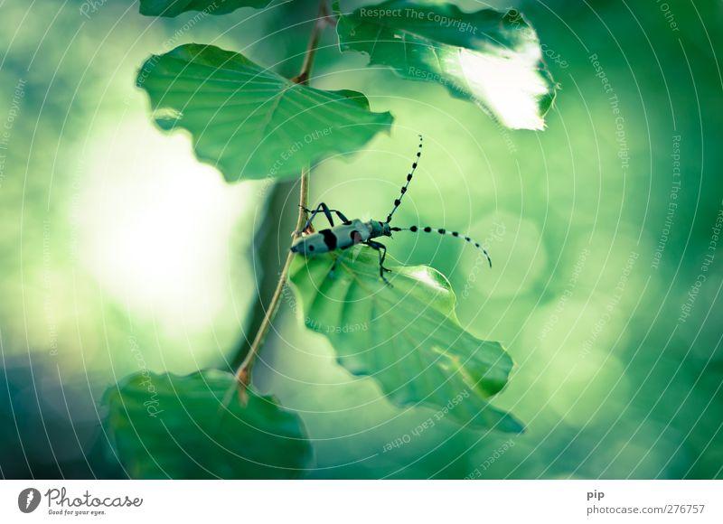 schwäb. koibockkäfer Blatt Zweig Käfer alpenbock 1 Tier krabbeln ästhetisch Ekel Erotik schön Natur Umweltschutz Fühler Beine Fleck blau schwarz grün Insekt