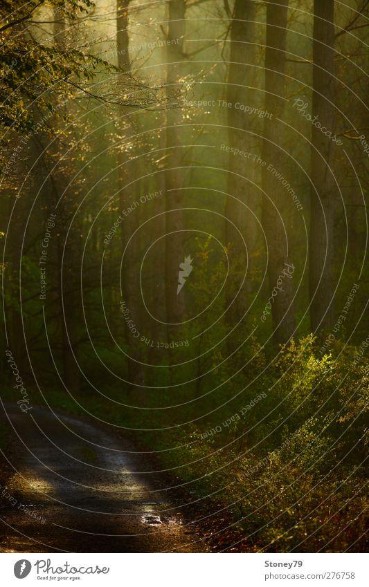 Waldweg am Morgen Natur Landschaft Sonnenlicht Frühling Baum Wege & Pfade frisch grün Warmherzigkeit Erholung Idylle ruhig Fußweg Farbfoto Außenaufnahme