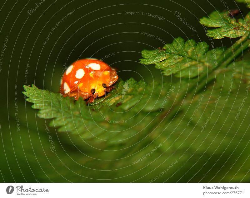 """""""N Käfer aufm Blatt"""" Wärme Farn Grünpflanze Wald Tier 1 krabbeln orange weiß Farbfoto Außenaufnahme Nahaufnahme Detailaufnahme Makroaufnahme Menschenleer"""
