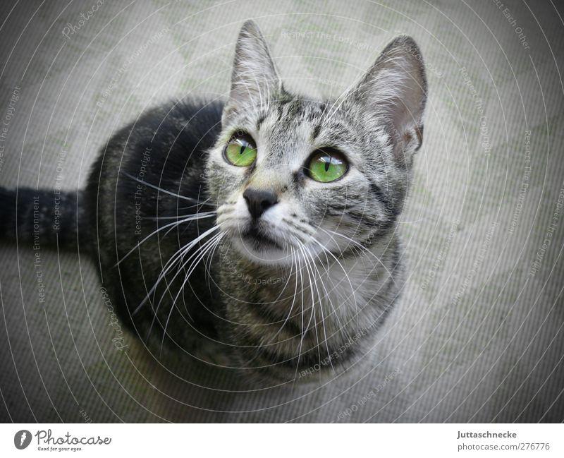 Wo ist mein Futter? Katze grün Tier grau Tierjunges sitzen niedlich Neugier Fell Vertrauen Wachsamkeit Haustier frech Interesse kuschlig Erwartung