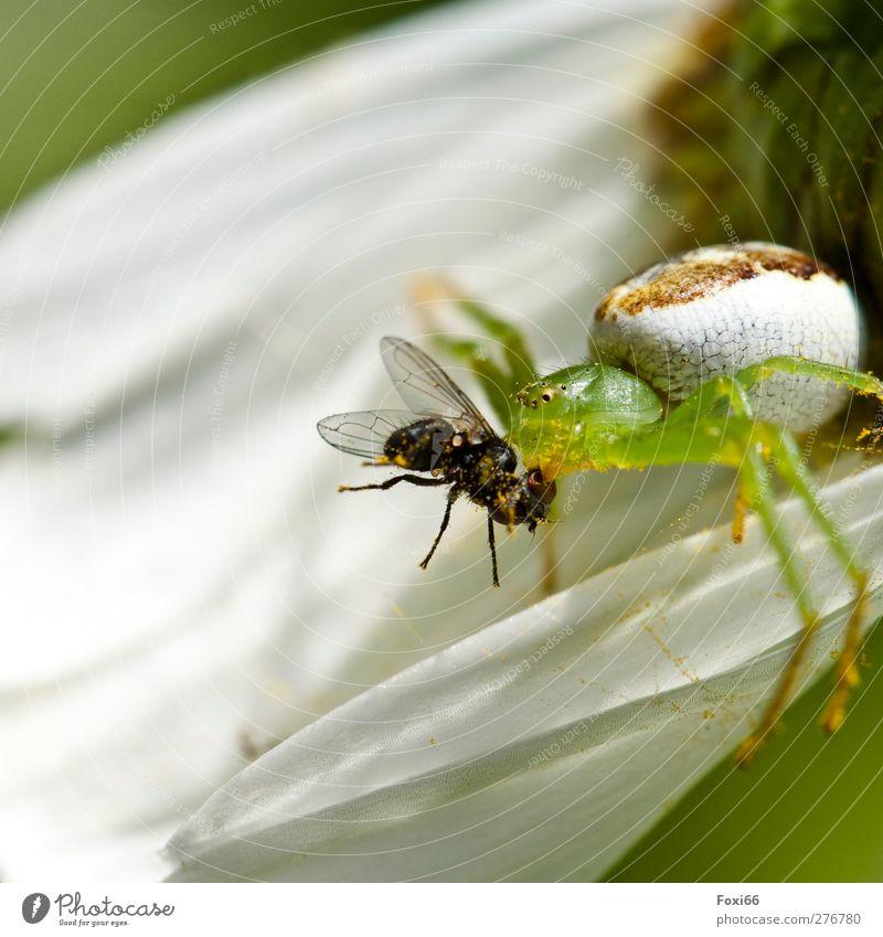 Jagderfolg Frühling Blüte Wiese Wildtier Fliege Spinne Krabbenspinne 2 Tier gruselig klein listig natürlich Geschwindigkeit stark grün weiß Begeisterung