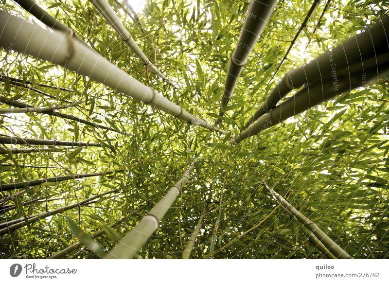hoch hinaus Pflanze Baum Wildpflanze exotisch Bambus Bambusrohr Urwald gigantisch grün Kraft Abenteuer Symmetrie Umwelt Wachstum Ziel Farbfoto Außenaufnahme