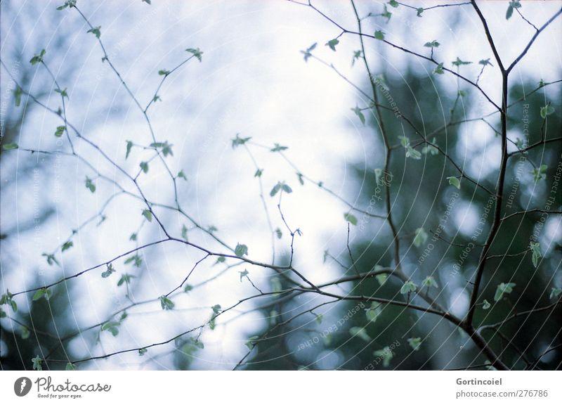 Geäst Umwelt Natur Pflanze Baum Sträucher Blatt Wald kalt Zweige u. Äste Blattknospe Haselnussblatt fein filigran Farbfoto Gedeckte Farben