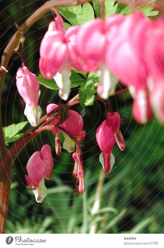 tränendens herz Blume Wiese Blüte Frühling Tränendes Herz