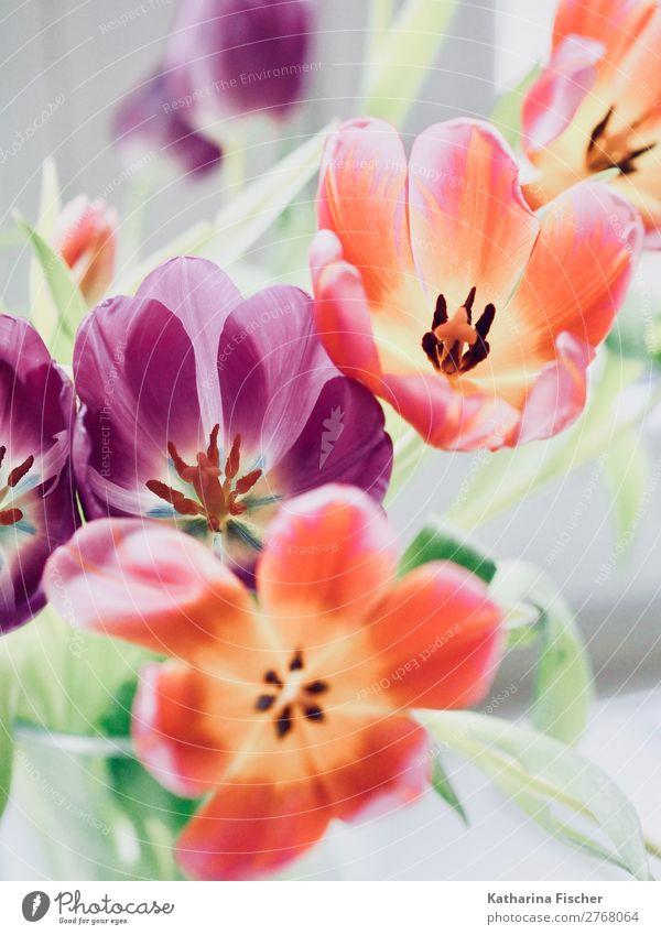 Tulpenblüten Tulpenstrauß orange lila Kunst Kunstwerk Natur Pflanze Frühling Sommer Herbst Winter Blatt Blüte Blumenstrauß Blühend leuchten Duft gelb grün