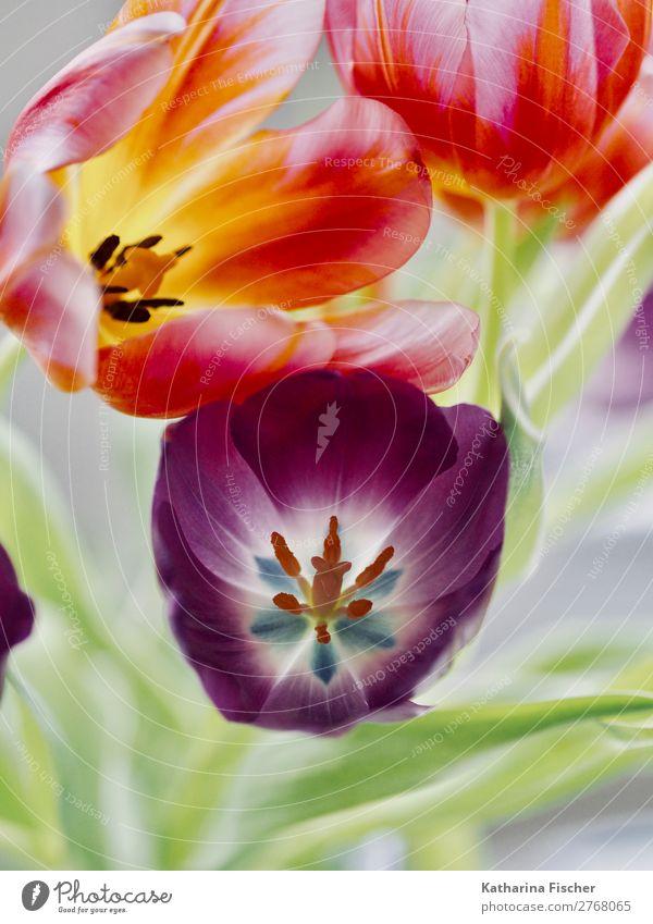Tulpen lila orange rot gelb Natur Sommer Pflanze schön grün weiß Blume Blatt Winter Herbst Blüte Frühling Kunst