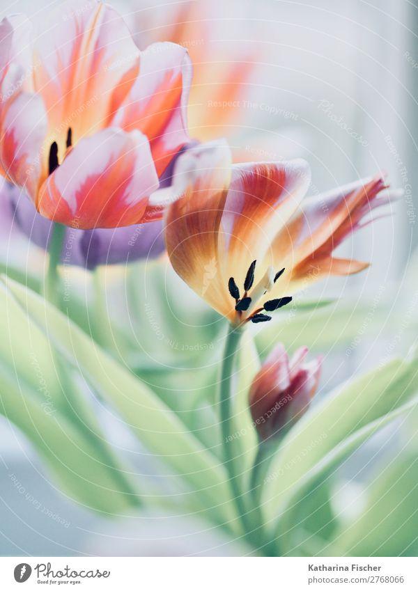 Tulpen Tulpenbild malerisch Kunst Umwelt Pflanze Blume Blatt Blüte Blumenstrauß Blühend leuchten Duft schön gelb grün violett orange rosa rot schwarz türkis