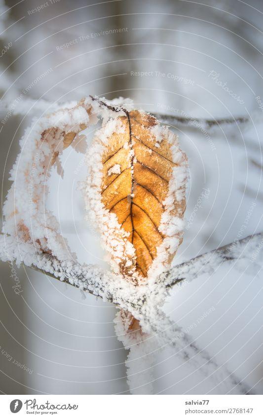 festgefroren Umwelt Natur Pflanze Winter Wetter Eis Frost Schnee Blatt Zweige u. Äste Wald kalt ruhig Vergänglichkeit Wandel & Veränderung Raureif Farbfoto