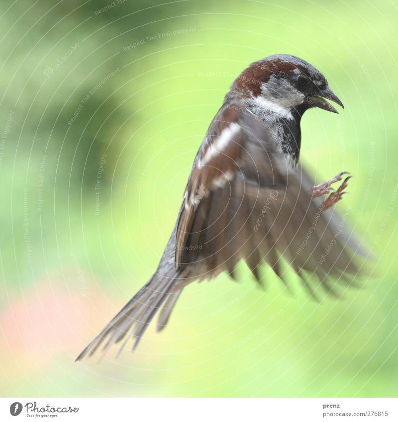 sparrow Umwelt Natur Tier Wildtier Vogel Flügel 1 grau grün Spatz fliegen fliegend Farbfoto Außenaufnahme Menschenleer Textfreiraum links Tag