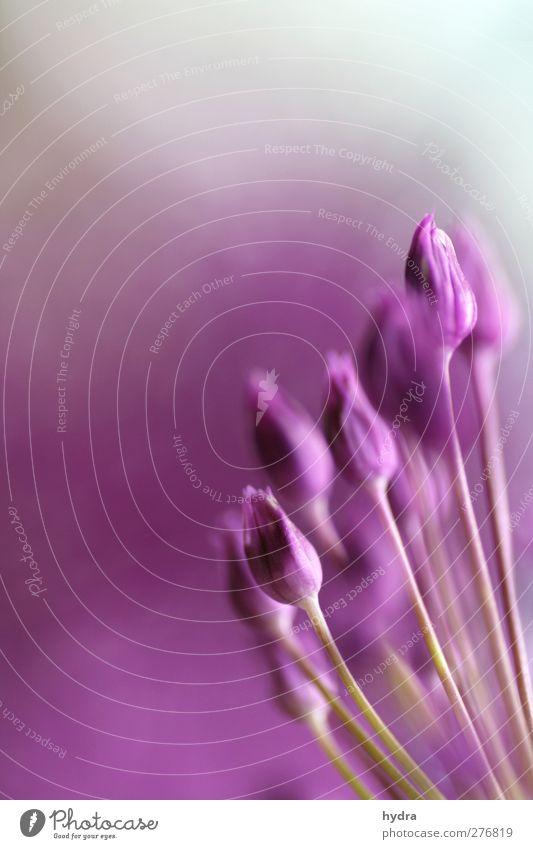 Lila blümerant schön Blume Farbe Blüte Garten Stil Stimmung rosa ästhetisch Warmherzigkeit Kitsch rein violett nah Blühend Blütenknospen