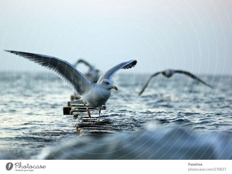 Landeplatz Umwelt Natur Tier Himmel Wolkenloser Himmel Herbst Wellen Küste Ostsee Meer Wildtier Vogel Flügel nass natürlich wild Möwe fliegen Farbfoto