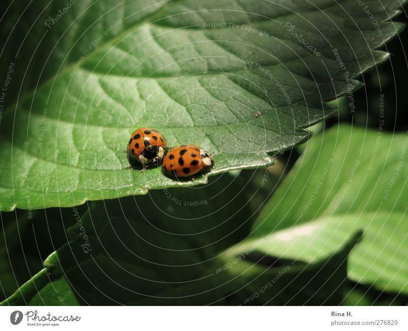 Bleib bei mir Sommer Pflanze Blatt Marienkäfer Insekt 2 Tier Tierpaar berühren Bewegung natürlich niedlich grün orange Gefühle Sympathie Zusammensein Liebe