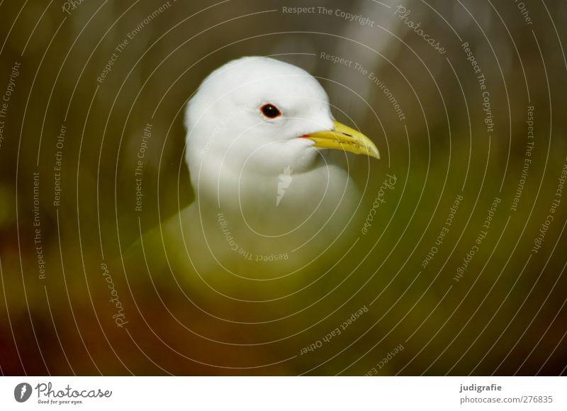 Island Umwelt Natur Pflanze Tier Gras Wildtier Vogel 1 natürlich dreizehenmöwe Farbfoto Außenaufnahme Unschärfe Tierporträt Profil