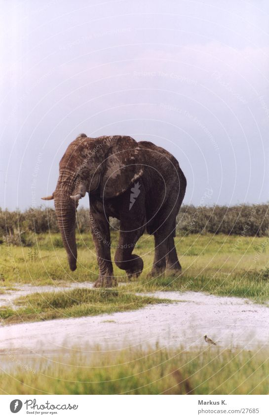 Der wahre König Elefant Bulle grau Weisheit groß stark Afrika Namibia Stoßzähne Elfenbein Rüssel alt dickhäuter Fett ruhig sanft Falte
