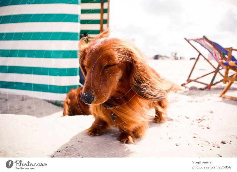 Voll im Windkanal Hund Sommer rot Strand Tier Wolken ruhig Küste Denken träumen liegen warten Insel frei authentisch Schönes Wetter